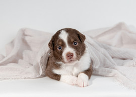 Maine Dog Photographer Aussie Puppies-46