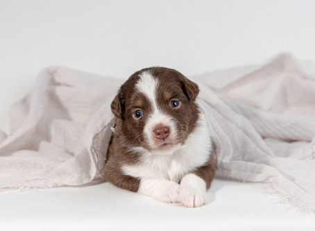 Aussie Puppy Photography in Monmouth, Maine | Smiling Acres Farm Australian Shepherd Puppies