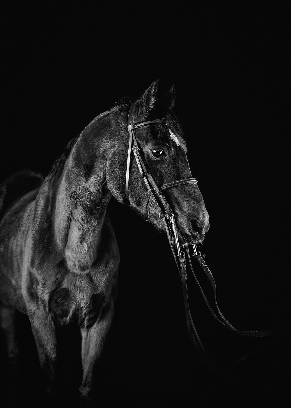 Maine horse and equine photographer