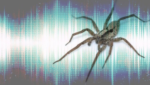 Spiders have begun to sing, looking for love - Wolf spiders (Gladicosa gulosa) create audible sounds using vibration communication - sound identity sound branding sound communication sound design