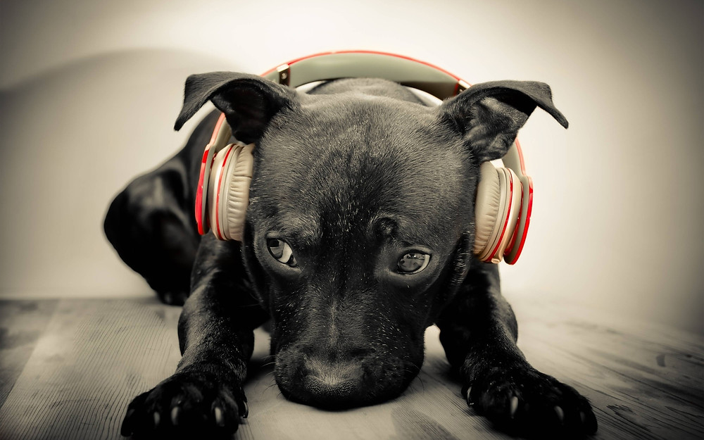 Dogs Have Music Preferences: Reggae and Rock - research shows music calm down dogs - sound identity, music blog sound branding sound design musicmatters