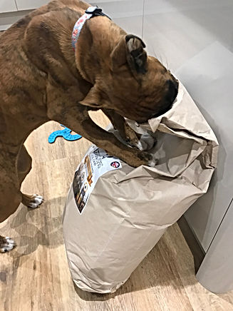 Customer photo boxer with her head in the sack of dog food enjoying some salmon and asparagus