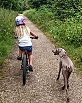 Weimaraners out on a family bike ride