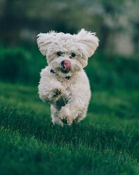 West Highland Terrier running through the grass licking her lips Addiscotts Dog Food