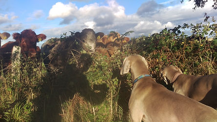 Delta and Kona introducing themseles to the cows while eating blackberries