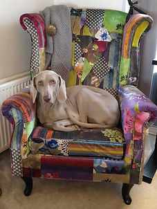 Weimaraner Delta sat in a colourful chair