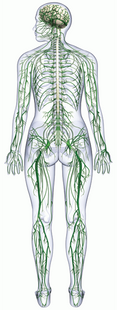 Siegel Chiropractic Center helps you identify what is going on in your body with our Neuropathy Treatment in Delray Beach, Florida. This is an image of the nerve cells in the human body.