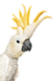 Cockatoo_edited.png