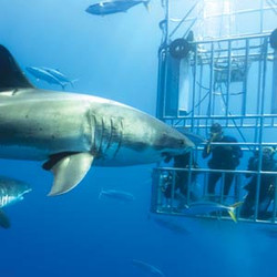 כרישים אנשים כלוב