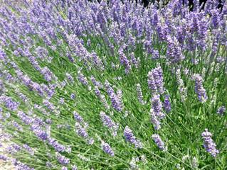 Plantas repelentes de mosquitos e pragas de jardim