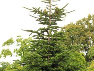 Conhece a sua árvore de natal?