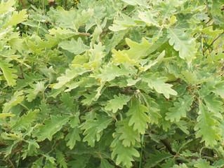 Como identificar as várias espécies de Quercus - Carvalhos