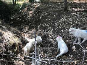 Follow Blush's Litter (18) – Big Field Transition – 13 wks