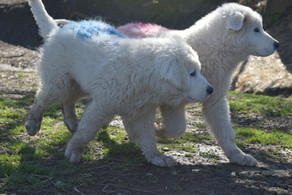 Photos & Videos - The Cameo 2019 Litter -  3-4 Months Old