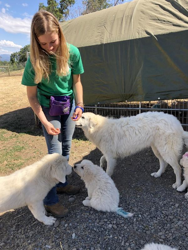 Clicker Training Maremma Puppies