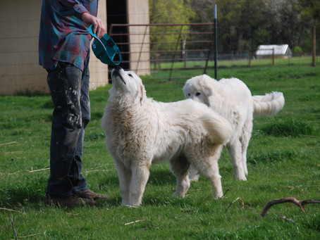 Teaching a Maremma To Come When Called - Recall