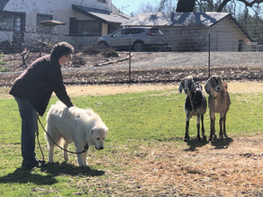 Meadow Meets the Goats - **Cues**