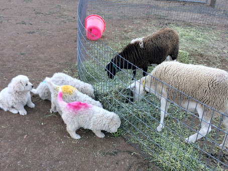 Introducing Puppies To New Livestock