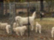 Lili w 9 wk pups.jpg