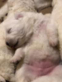 Blush C 11 day old pup 1000.jpg