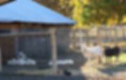 Lili pups 10-31-17 w sheep c 600.jpg