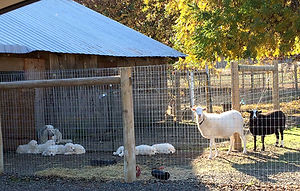 Lili pups 10-31-17 w sheep c 600.jpg