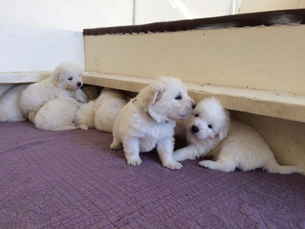 Cami pups look 10-31.jpg