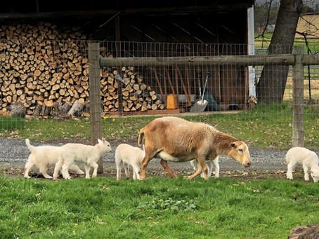 2021 Sarika x Milan Litter - 8 wks - With Sheep!