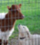 44 pup w calf close.jpg