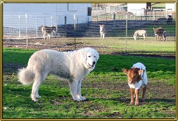 maremma-with-calf.jpg