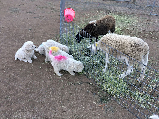 pups w sheep 1.jpg