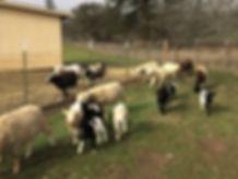 Rosie w sheep.JPG