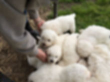 maremma-puppies.jpg