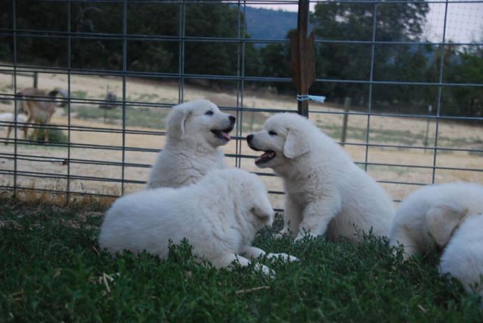pups talk 8-4.jpg