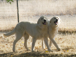 One Dog Or Two – This Breeder's Opinion