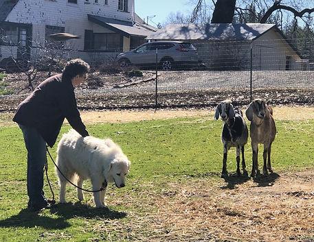 sheepdog goat.jpg