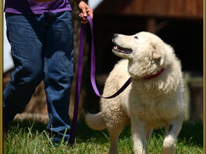 Leash Work for LGDs – How It Differs From Companion Dogs