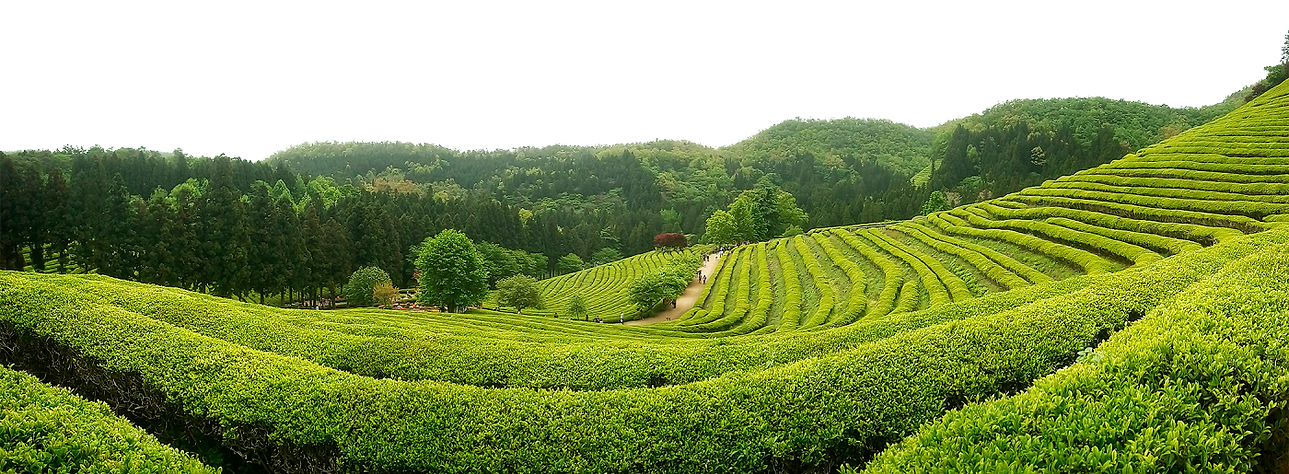 tea field.png