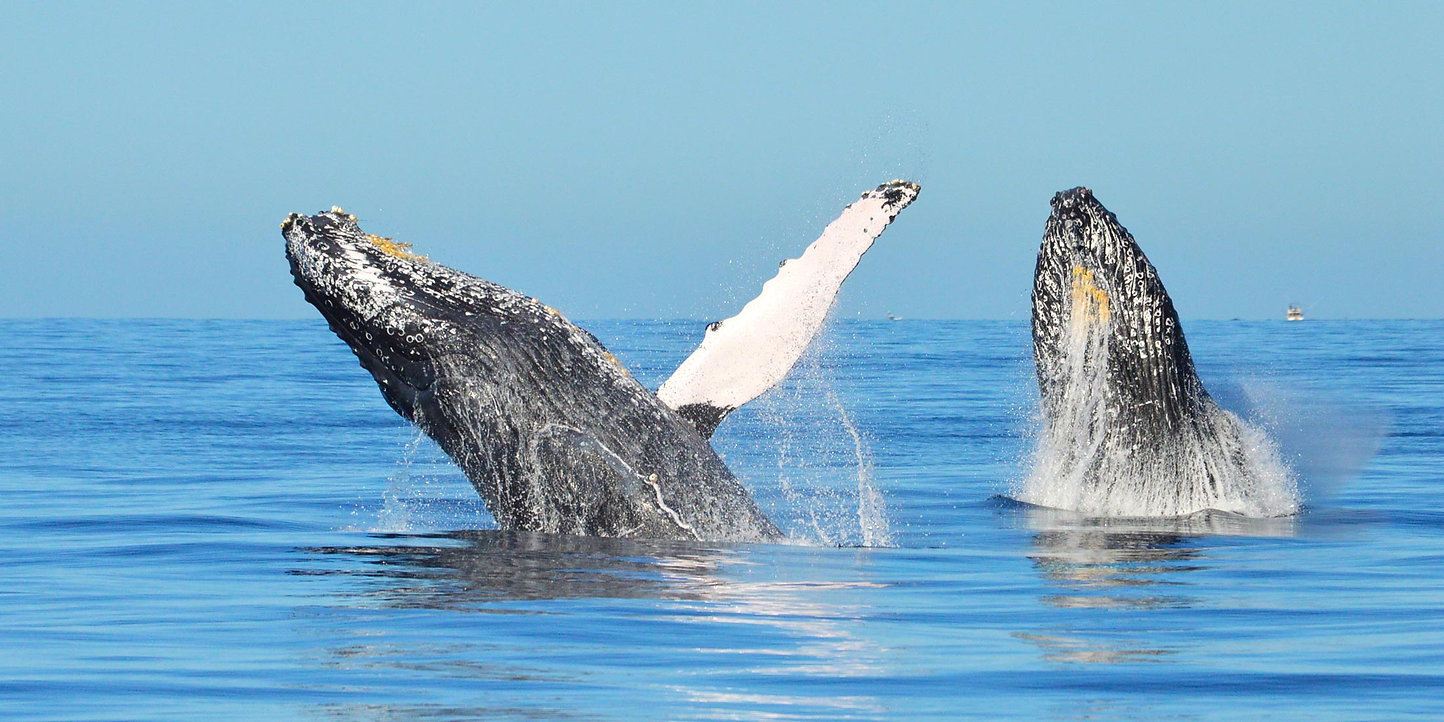 Humpback-Whale-Double-Breach-Cabo.jpg
