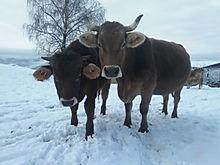 bruna alpina originale felice al pascolo e nella neve