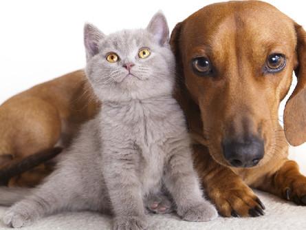 Como acostumar um gato a conviver com cachorro?