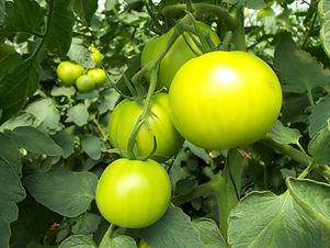 tomatoes-941667_1920.jpg