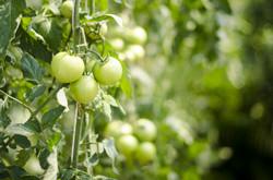 eggplant-400-08373800-400-08373801-400-08373802-400-08373803-161512