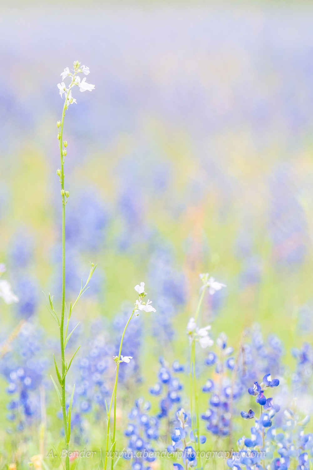 Close up of spring wildflowers in central Texas | A Bender Photography LLC