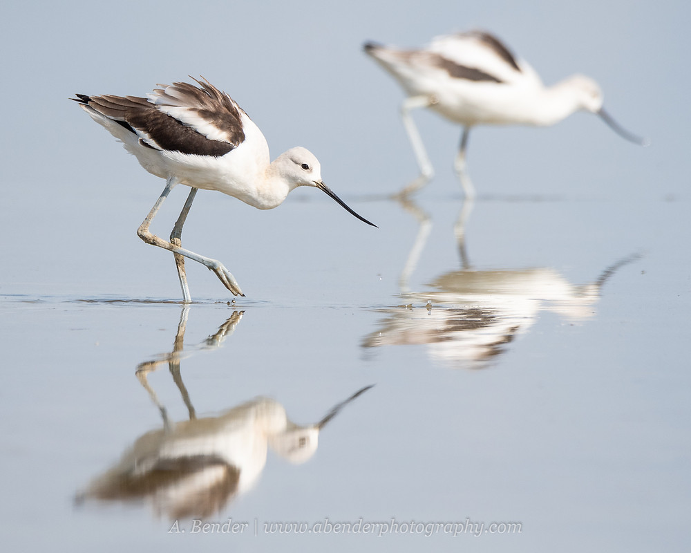 Two American Avocets wade in the shallow water of the Great Salt Lake Utah with reflections | A Bender Photography LLC