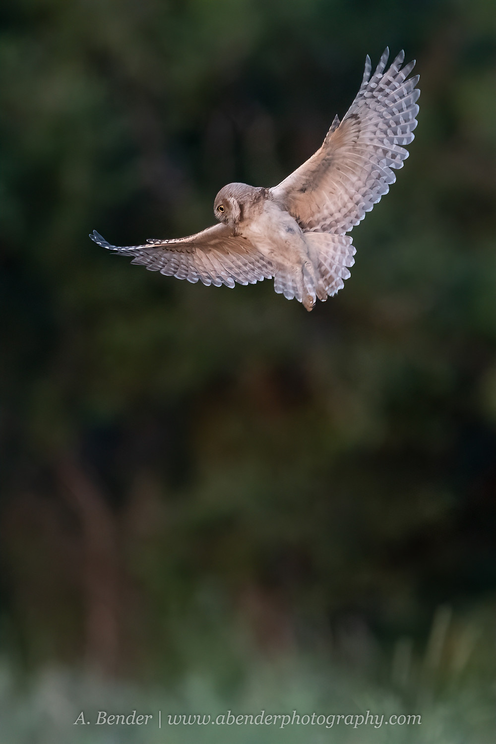 A burrowing owl in flight over a field in twilight in northern Texas | A Bender Photography LLC