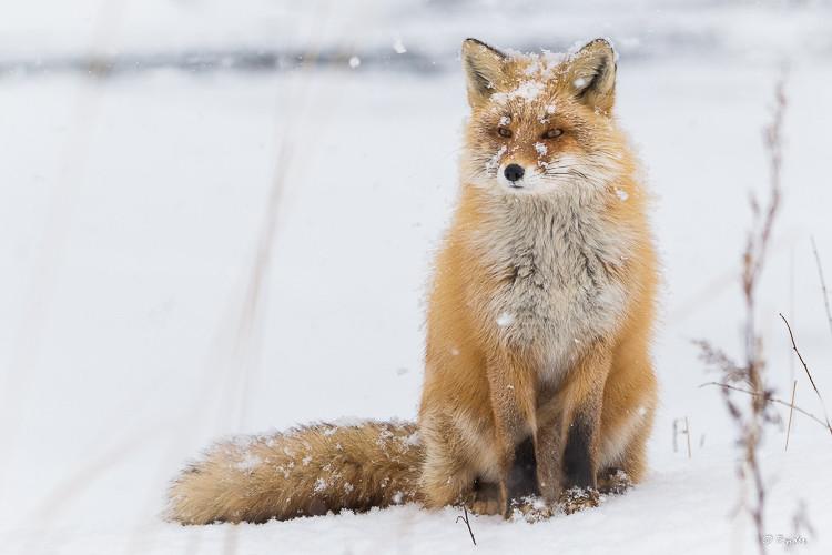 Fox watching photographers photograph deer during a snowstorm