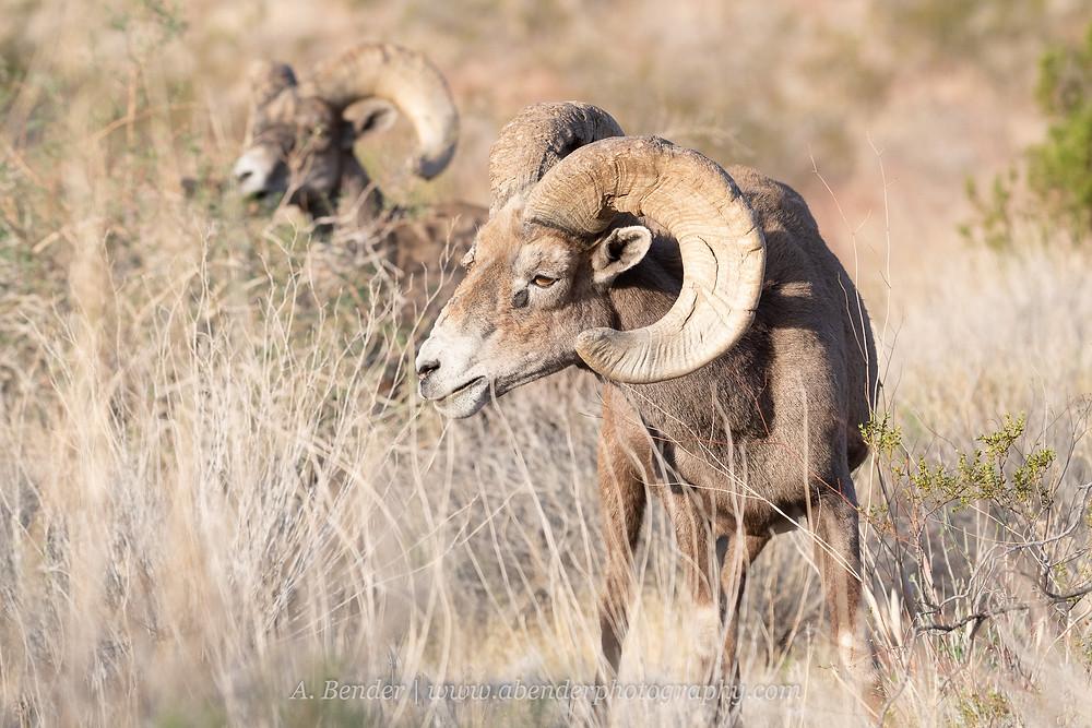 Two desert bighorn sheep rams graze in the Nevada desert outside Las Vegas   A Bender Photography LLC