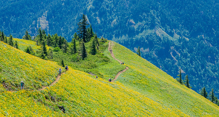 Hikers traversing Dog Mountain during spring