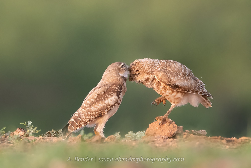 Two burrowing owls groom each other in golden morning light in northern Texas | A Bender Photography LLC